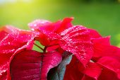 garden with poinsettia flowers or christmas star