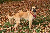 Large Mixed Breed Dog In Autumn Leaves