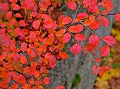 picture of barberry  - Barberry bush with red berries and leaves in fall.