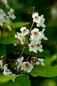 Blossoms Of Indian Bean Tree, Catalpa Bignonioides, Closeup