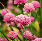 pink  clover in the field