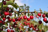 foto of cherries  - cherry tree  - JPG