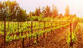 Beautiful grape valley, bright sunset, agricultural landscape, autumn nature, harvest season, ripe juicy fruits, vineyard, vine production, viticulture concept