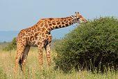 A Masai giraffe (Giraffa camelopardalis tippelskirchi) feeding on a tree, Kenya