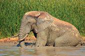 African elephant (Loxodonta africana) taking a mud bath, Addo Elephant National Park, South Africa