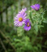 Lilac Daisy In Bloom