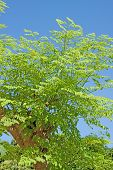 stock photo of oleifera  - Moringa oleifera - JPG