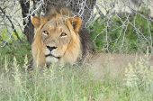 Male Lion In The Kalahari