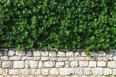 Hedge Evergreen Shrub In The Landscape Design