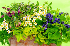 stock photo of feverfew  - a wood box with various fresh herbs - JPG