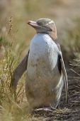 Yellow-eyed Penguin in New Zealand