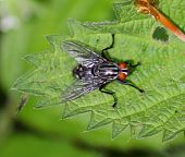 Detail of a Housefly on a Leaf