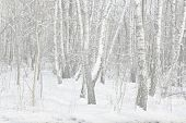 Winter Birch Trees In Snow