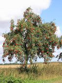 stock photo of rowan berry  - The European rowan lat - JPG