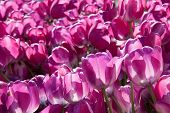 pink tulips growing  in garden