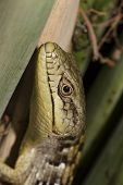Peeking Lizard