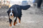 An Image Of Bernese Mountain Dog