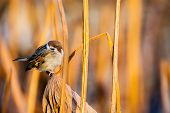 picture of marshes  - A bird sitting among of yellow reed marshes - JPG