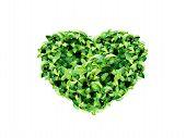 heart leaf tea
