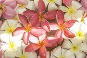 picture of plumeria flower  - Pink and White pattern of Plumeria flower - JPG