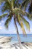 Grand Cayman Palm