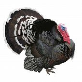 picture of gobbler  - Hand drawn vector illustration of a male turkey showing off its beautiful plumage - JPG