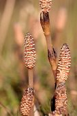 picture of horsetail  - Field horsetail in the wild close up - JPG
