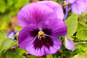 stock photo of violet  - Violet - JPG