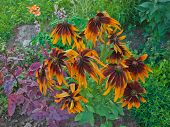 Coneflower with long petals