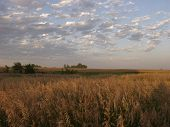 Kansas Wheatfield