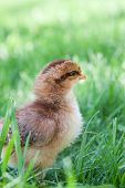 Fluffy New Chick In The Grass