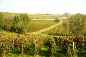 Harvest in October Oltrepo Pavese italy