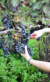 pic of moscato  - Harvest in October Oltrepo Pavese italy barbera - JPG