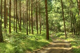 picture of fern  - Gravel forest road leading though a pine forest and forest ferns - JPG