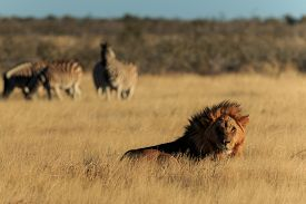 picture of lion  - A lion resting with zebras in the background lion resting with zebras in the background - JPG