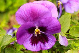 image of violet flower  - Violet - JPG