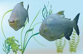picture of piranha  - illustration with two piranha fishes in green algae - JPG