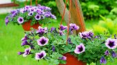 foto of petunia  - Nice baskets with a petunia flowers hanging on the tree - JPG