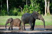 African Forest Elephants.