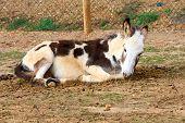 foto of jackass  - Portrait of a donkey resting on the sand  - JPG