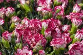 stock photo of carnation  - Group carnation flowers violet color - JPG