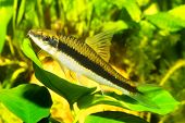 stock photo of freshwater fish  - Fish with black stripe sitting on the leaf in the aquarium - JPG
