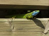 pic of lizards  - Small lizard has ticks all over himself - JPG