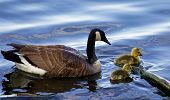 pic of mother goose  - The mother - JPG