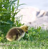 foto of mother goose  - Solely chick of a cackling geese on the grass - JPG