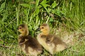 image of mother goose  - Cute pair of chicks are staying in the grass - JPG