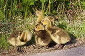 image of mother goose  - Strong reaction on something by a group of young geese - JPG