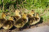 picture of mother goose  - Family of the six cute young cackling geese are going together