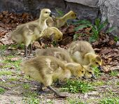 picture of mother goose  - Three chicks of the cackling geese have found something interesting in the grass - JPG