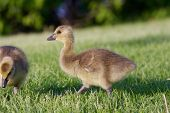 image of mother goose  - Young cute cackling goose is going somewhere - JPG